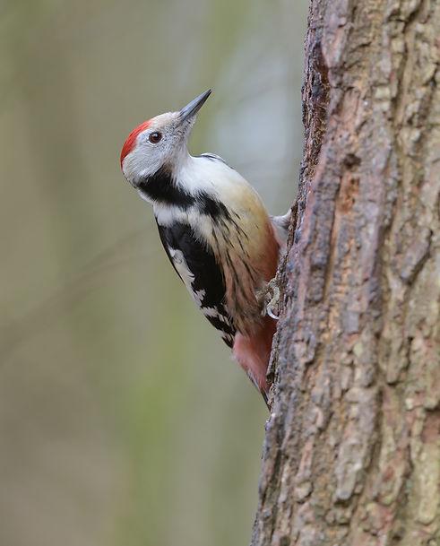 Vogelfotografie, Middelste Bonte Specht