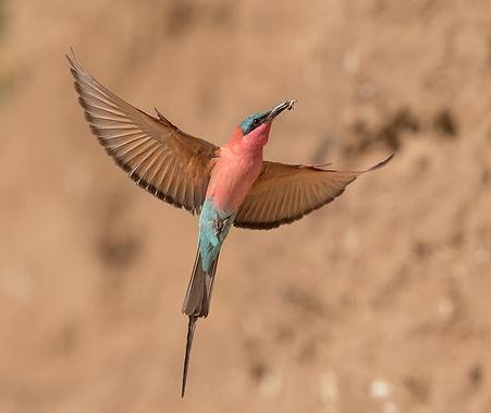 Vogelfotografie,  Karmijnrode-Bijeneter