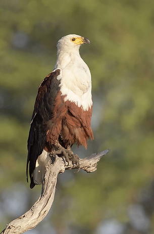 Vogelfotografie African-Fish-Eagle.