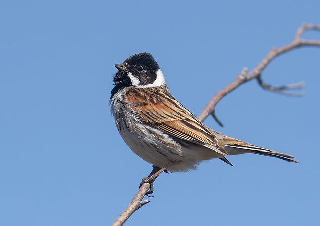 Vogelfotografie Texel. Rietgors.