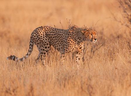 Fotografie Kenia, Jachtluipaard.