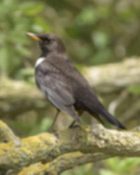 Vogelfotografie Beflijster.
