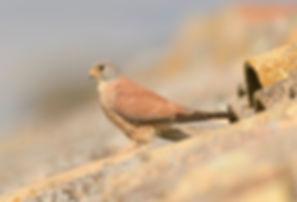 Vogelfotografie Toledo, Spanje,  Kleine Torenvalk.