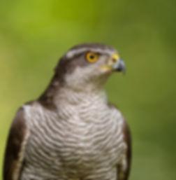 Vogelfotografie Hongarije, Havik..