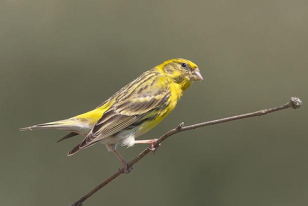 Vogelfotografie, Europese Kanarie, Texel.