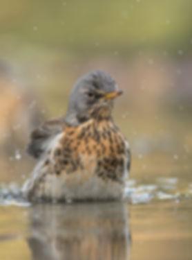 Vogelfotografie Kramsvogel.