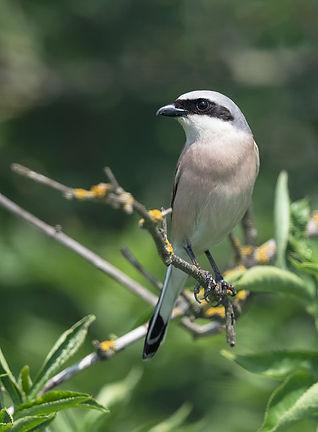 Vogelfotografie Hongarije, Grauwe Klauwier.