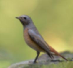 Vogelfotografie, Gekraagde Roodstaart