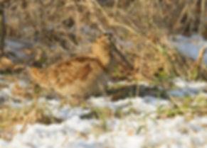 Houtsnip in de sneeuw gefotografeerd in Zeeland.