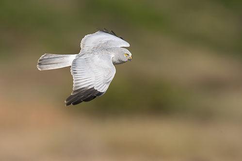 Vogelfotografie Blauwe Kiekendief.