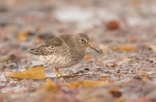 Vogelfotografie IJsland, Paarse Strandloper.