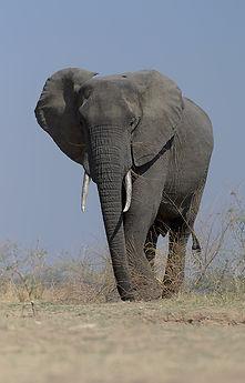 Olifant (Elephant) Nsefu, South Luangwa.