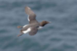 Zeekoet komt met grote snelheid voorbij vliegen!