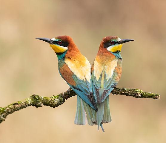 Vogelfotografie Hongarije, Bijeneter.