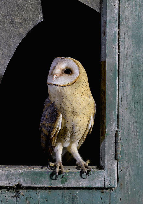Kerkuil zit op oude deur raam.
