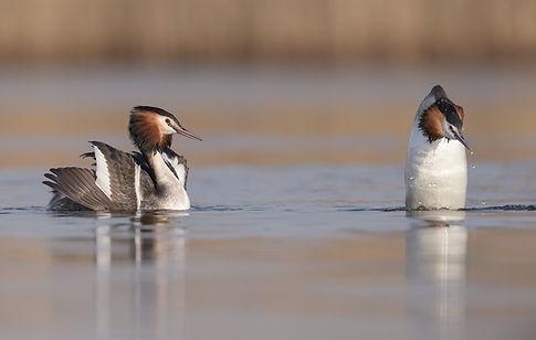 De Fuut die uit het water komt draait altijd eerst met de rug naar z'n partner!