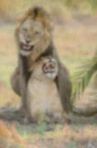 Dierenfotografie Leeuw.