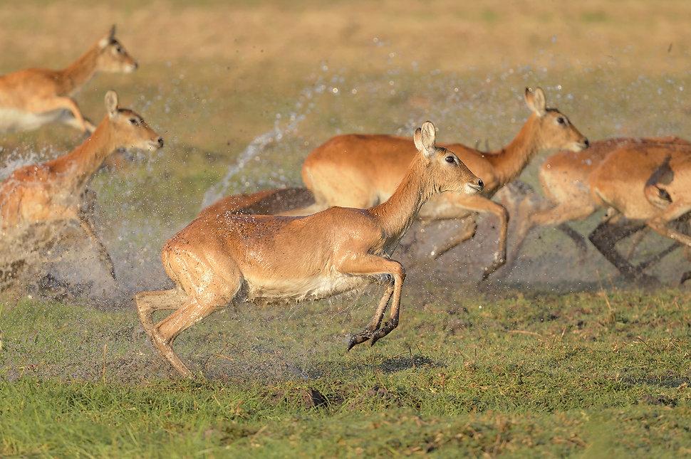 Zambia, Kafue NP, Red Lechwe.