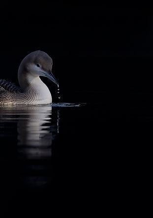 Vogelfotografie Parelduiker.