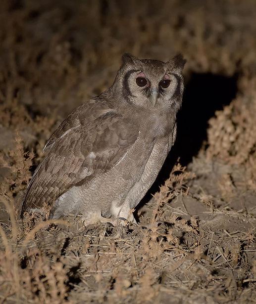 Verreaux's Eagle Owl (Verreaux' Oehoe)
