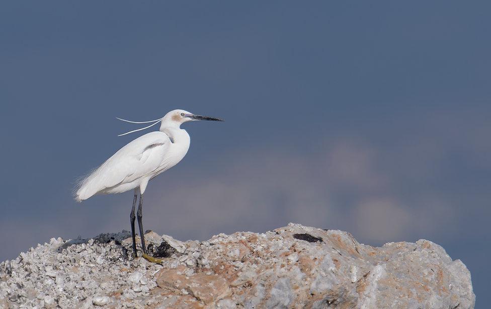 Vogelfotografie Lesbos, Kleine Zilverreiger.
