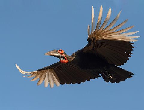 Vogelfotografie Bird in flight Zuidelijke Hoornraaf.