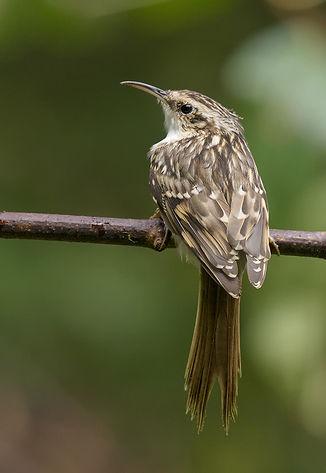 Vogelfotografie Boomkruiper.