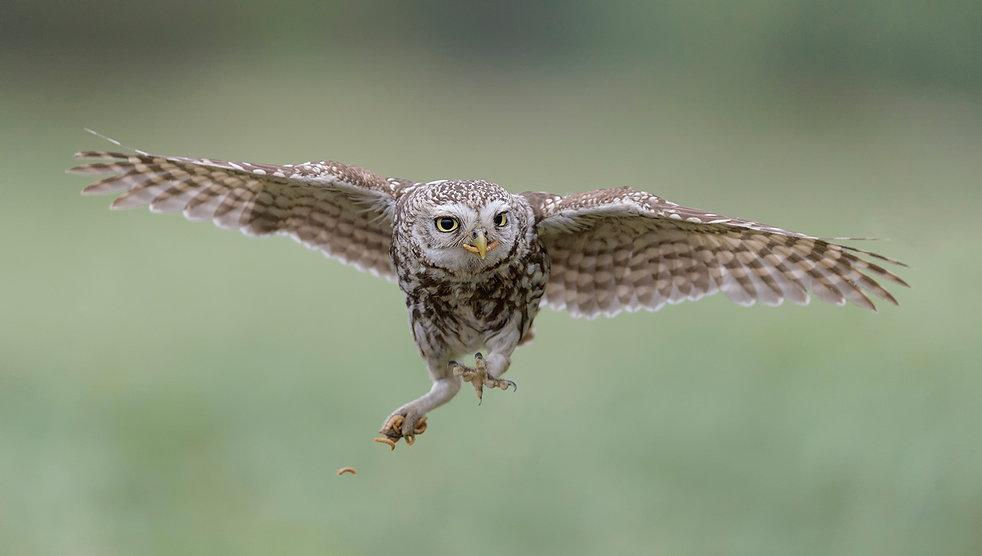 Vogelfotografie Steenuil.