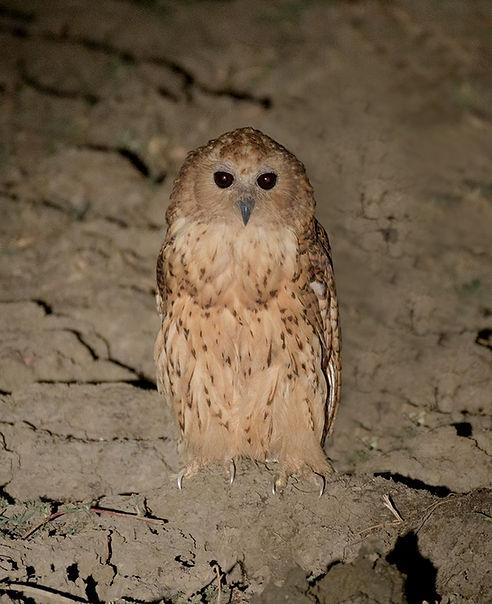 Pel's Fishing Owl (Pels Visuil)