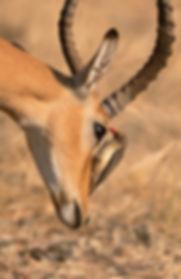 Red-Billed Oxpecker (Roodsnavelossenpikker)