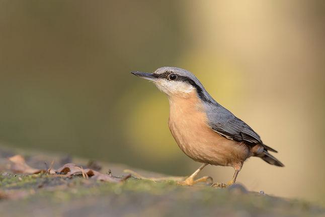 Vogelfotografie Boomklever.