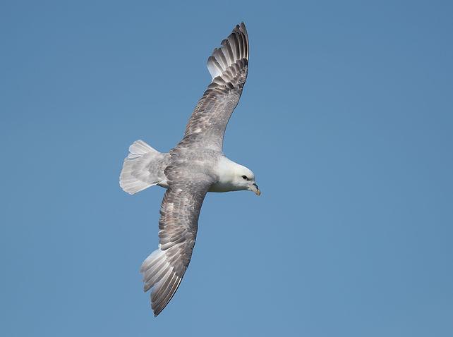 Vogelfotografie Isle of May Schotland, Noordse Stormvogel.