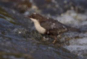 Vogelfotografie Waterspreeuw.SC075311.jpg