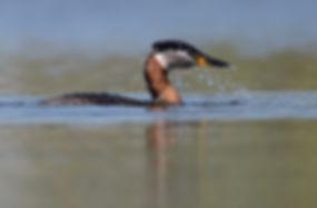 Vogelfotografie, Roodhalsfuut.