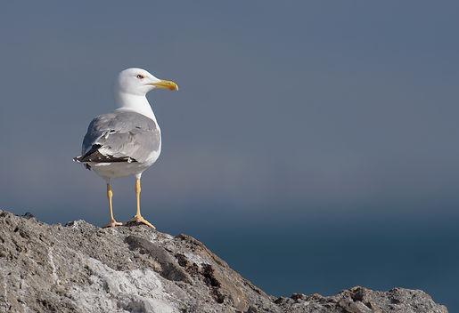 Vogelfotografie Lesbos, Geelpootmeeuw.