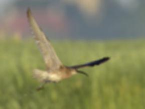 Vogelfotografie Bird in flight Regenwulp.