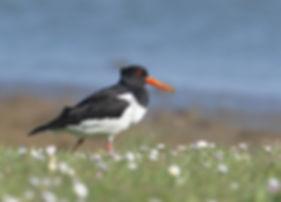 Vogelfotografie Texel. Scholekster.