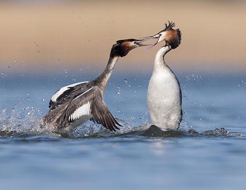 Vogelfotografie, Fuut