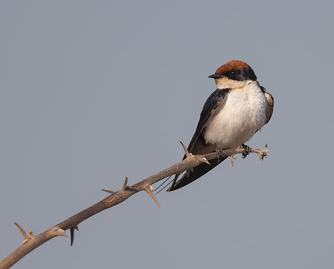Wire-Tailed-Swallow (Roodkruinzwaluw)