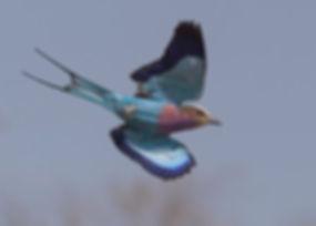 Vogelfotografie Bird in flight Vorkstaartscharrelaar.