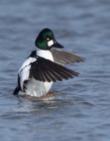 Vogelfotografie Brilduiker.