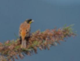Vogelfotografie Lesbos, Zwartkopgors.