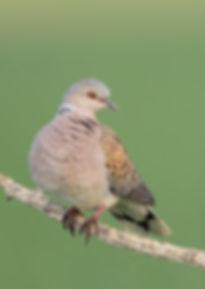 Vogelfotografie Hongarije, Zomertortel.