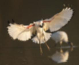 Vogelfotografie Bird in flight Heilige Ibis.