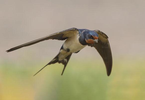 Vogelfotografie Texel. Boerenzwaluw.