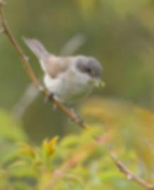 Vogelfotografie Texel. Braamsluiper.