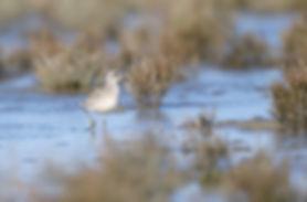Zilverplevier gefotografeerd op het wad.