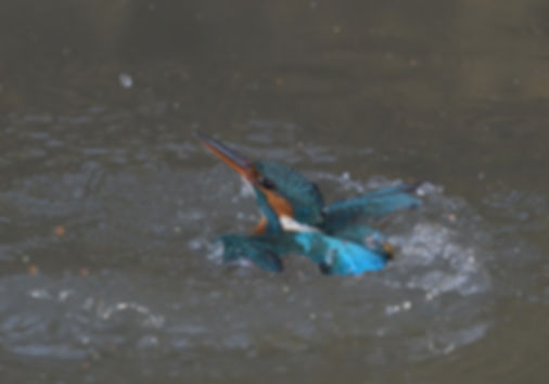 Vogelfotografie IJsvogel.