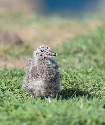 Vogelfotografie Isle of May, Kleine Mantelmeeuw.