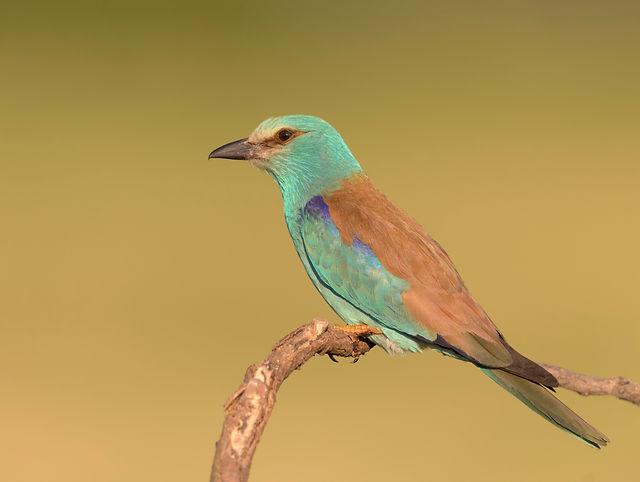 Vogelfotografie Hongarije, Europese Scharrelaar.